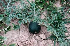 Растущий арбуз на треснутой почве Стоковые Изображения RF