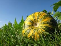 растущий арбуз Стоковая Фотография