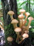 растущий вал грибов меда Стоковое Изображение RF