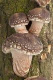 растущий вал shiitake грибов Стоковые Фотографии RF