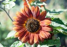 Растущий желтый цвет - оранжевый солнцецвет Стоковые Изображения