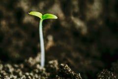 Растущий зеленый росток от почвы Сезон весны аграрный Стоковые Фотографии RF