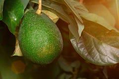 Растущий зеленый авокадо Стоковая Фотография RF