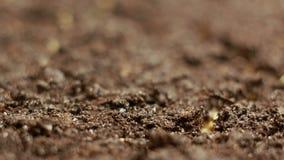 Растущий зеленый мустард засаживает весну Timelapse земледелия сток-видео