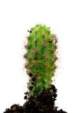 Растущий кактус Стоковые Фотографии RF