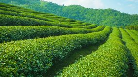 Растущий конец чая вверх Гористые местности Таиланда видеоматериал