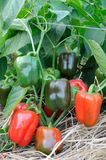растущий красный цвет перца Стоковое Изображение