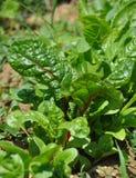 Растущий Мангольд в саде Стоковые Фото