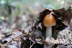 Растущий молодой несъедобный гриб Стоковое Изображение