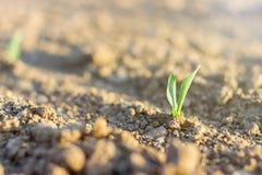 Растущий молодой саженец зеленой мозоли Зеленый росток хлопьев Стоковые Изображения RF