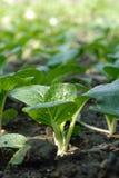 растущий овощ Стоковые Фото