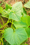 Растущий огурец Стоковые Фото