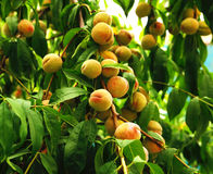 Растущий персик Стоковые Фото
