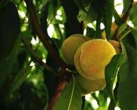Растущий персик Стоковое Изображение RF