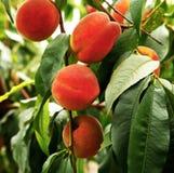 Растущий персик Стоковая Фотография RF