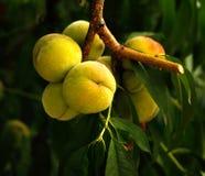 Растущий персик Стоковое Изображение