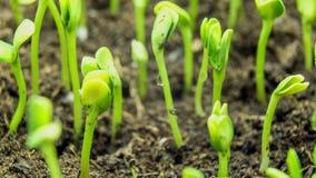 Растущий промежуток времени зеленого растения видеоматериал