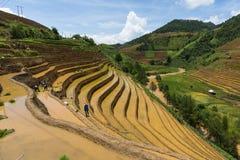 Растущий рис в Mu Cang Chai, Yen Bai, Вьетнаме Стоковые Изображения