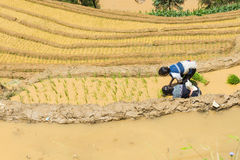Растущий рис в Mu Cang Chai, Yen Bai, Вьетнаме Стоковые Изображения RF