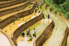 Растущий рис в Mu Cang Chai, Yen Bai, Вьетнаме Стоковое Изображение RF