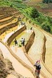 Растущий рис в Mu Cang Chai, Yen Bai, Вьетнаме Стоковое Изображение