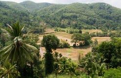 растущий рис Стоковая Фотография RF