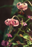 Растущий розовый конец tigrinum лилии вверх Стоковое Изображение