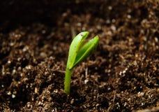 растущий росток Стоковое Изображение