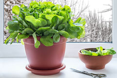 Растущий салат в окне Стоковые Изображения