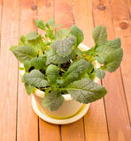 Растущий салат зеленых цветов мустарда Стоковые Изображения RF