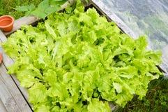 растущий салат Стоковые Фотографии RF