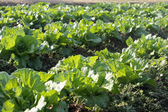 Растущий салат Стоковые Фото