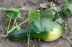 Растущий свежий овощ сквоша в саде Стоковое Фото