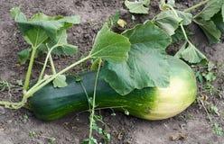 Растущий свежий овощ сквоша в саде Стоковые Изображения RF