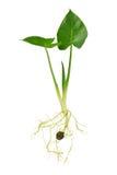 растущий сец Стоковое фото RF
