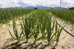 Растущий чеснок в поле Стоковое Фото