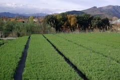 растущий rosemary заводов Стоковое Фото