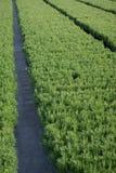 растущий rosemary заводов Стоковое Изображение RF