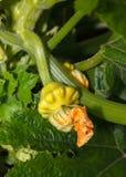 растущий zucchini Стоковое Изображение RF