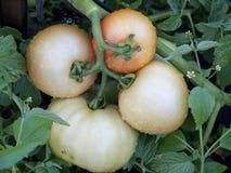 4 растущих влажных томата Стоковая Фотография