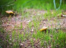 2 растущих гриба Стоковая Фотография RF
