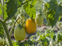 4 растущих томата Стоковое Изображение RF