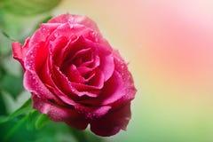 Растя и зацветая розы Стоковые Фото