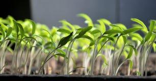 Растя перцы саженцев сладкие стоковые фотографии rf