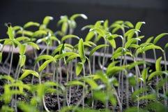 Растя перцы саженцев сладкие стоковая фотография