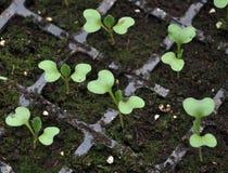 Растя саженцы капусты в пластиковых кассетах стоковая фотография