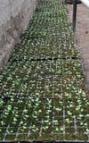 Растя саженцы капусты в пластиковых кассетах стоковые фото