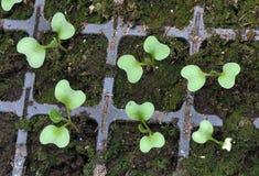 Растя саженцы капусты в пластиковых кассетах стоковые изображения rf