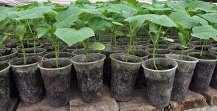 Растя саженцы огурцов в пластиковых баках стоковое фото rf