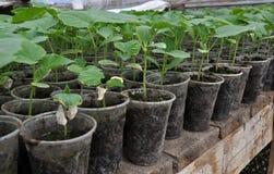 Растя саженцы огурцов в пластиковых баках стоковые изображения rf